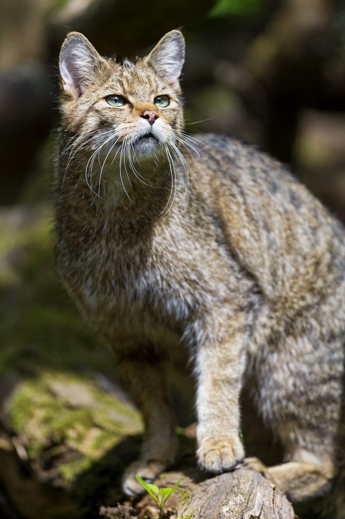 Wild cat posing on the branch | I like the way this nice ...