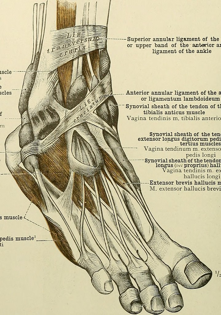 Image From Page 123 Of An Atlas Of Human Anatomy For Stud Flickr