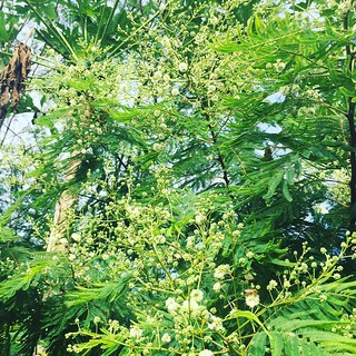 acacia augustifolia-- nurse/ overstory/ pollinator/ nitrogen fixing agroforesrry champion, featured here in association with a papaya | by thegreenhorns