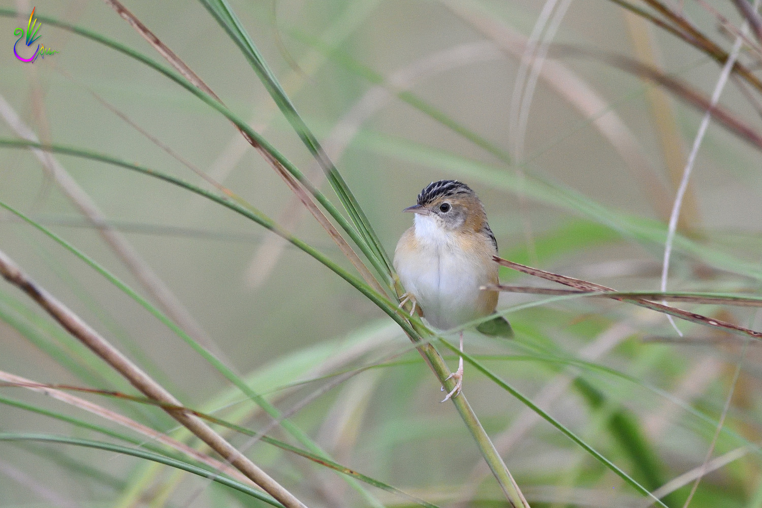 Golden-headed_Cisticola_7727