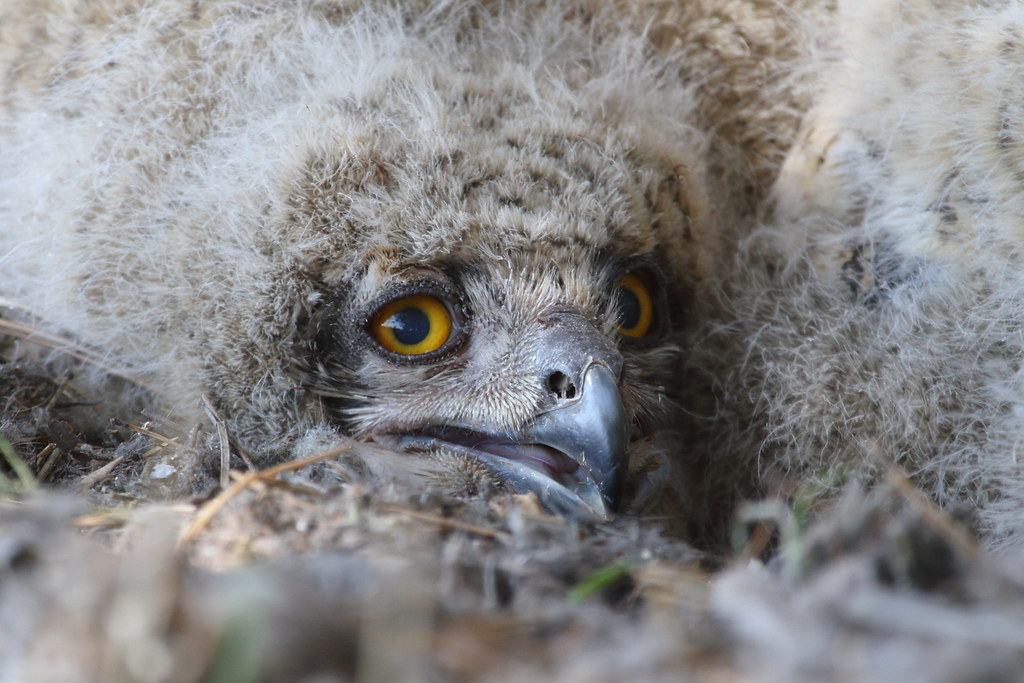 Portret of an Eagle owlet