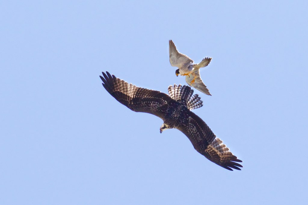 Peregrine Falcon Attacking an Osprey | Peregrine Falcons ...