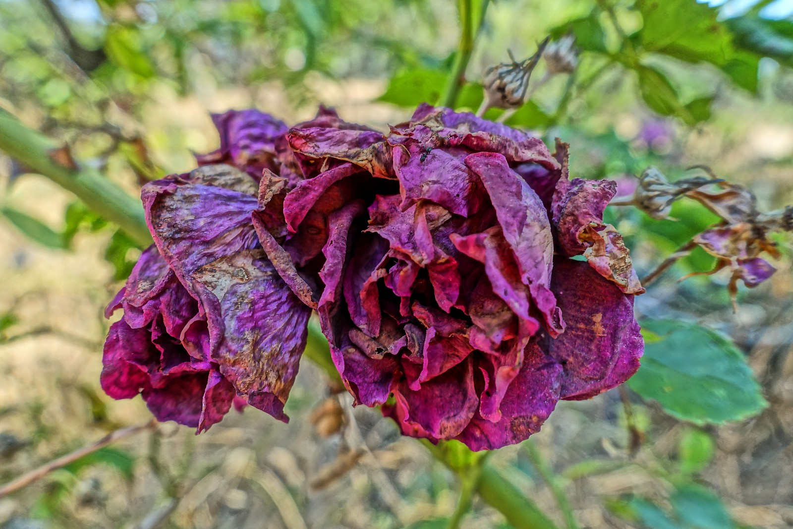 Drought-Driven Dried Roses | by sjrankin