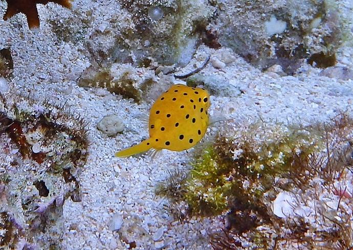 34 沖繩自由行 水上活動 香蕉船 Marine Support TIDE 殘波 藍洞海洋觀光 藍洞浮潛&珊瑚礁 餵食熱帶魚浮潛