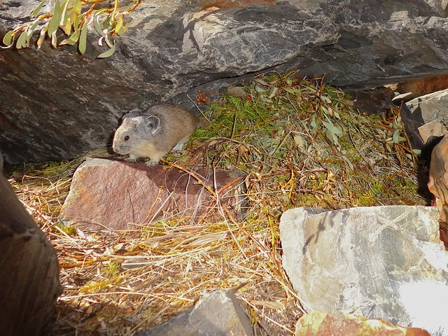 pika on a favorite sunning rock