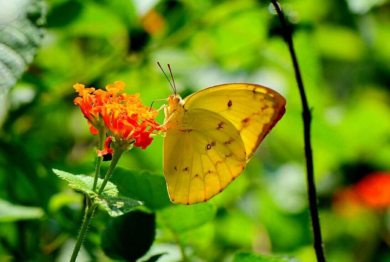 淡黃蝶可能是外來種。攝影:許書國