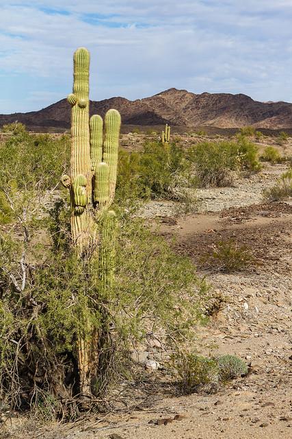 Cactus-22-7D1-011317