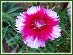 Beautiful bicolored Dianthus hybrid (Carnation, Pink, Sweet William) in white and rose-pink in our outer bed, Feb 4 2014