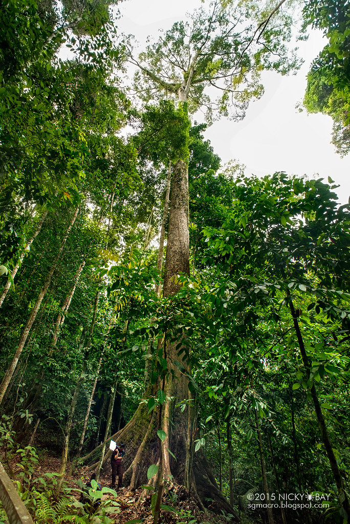 Image result for tallest tropical tree in the world