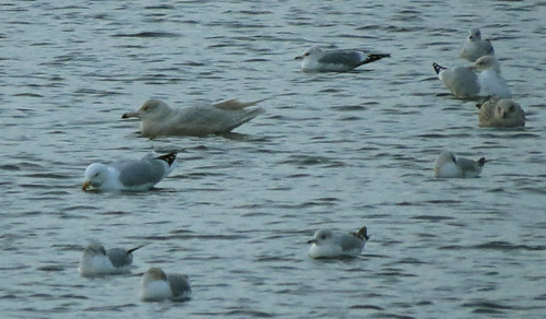 Glaucous Gull Larus hyberboreus Tophill Low NR, East Yorkshire February 2017
