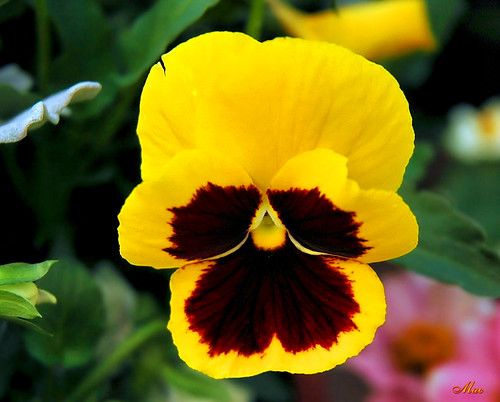 Sunny Spring Pansy | by Mc Shutter