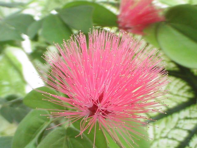 Pink spike a pink spiky flower in the greenhouse at biltmo flickr pink spike by kizard pink spike by kizard mightylinksfo