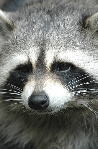 Raccoon close-up | by Feathers McGraw