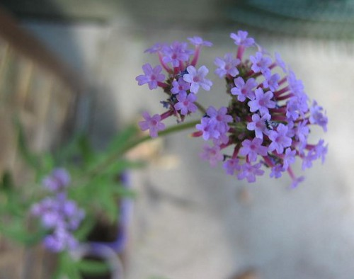 small purple flowers.  i have no idea what this plant is ca…  flickr, Beautiful flower
