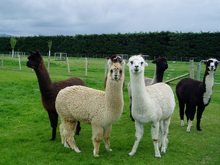 Alpacas | by Marlene & Alan