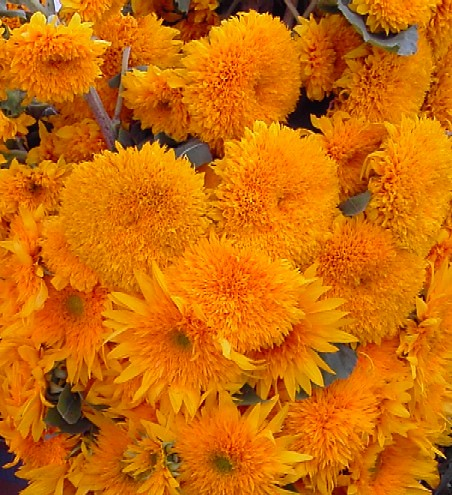 Puff sun flowers puff sun flowers at union square green for Flowers union square nyc