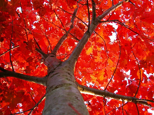Flaming Red Oak | by CaptPiper