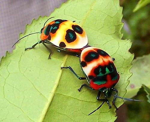 Hidden lovers - Scutelleridae | Flickr - Photo Sharing!