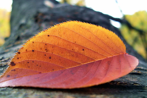 Sakura leaf | by Blue Lotus