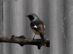 118 redstart | by kaycatt*