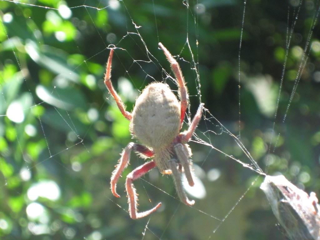 Adult blog spider