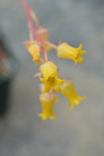 Echeveria pulidonis   エケベリア 花うらら
