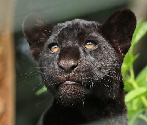 jaguar dortmund jn6a1481 safi kok flickr. Black Bedroom Furniture Sets. Home Design Ideas