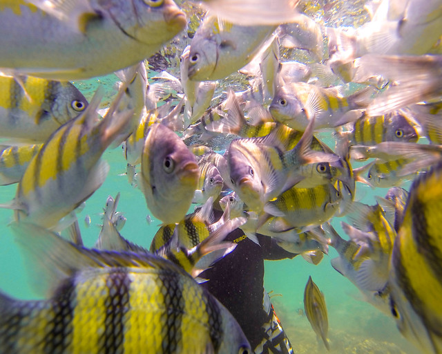 Invasión de peces sargento en las playas de Tailandia