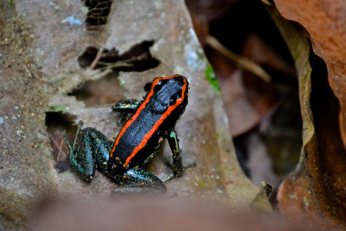 25 Fantastic Reasons To Pack Your Bags And Visit Blue Osa Right Now Golfo Dulce poinson dark frog