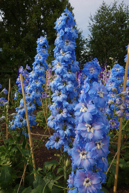 I've never seen so many colors of delphiniums