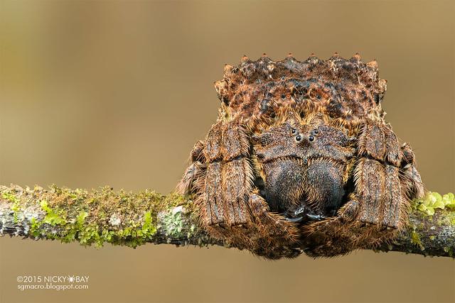 Broad-headed bark spider (Caerostris sp.) - DSC_5046