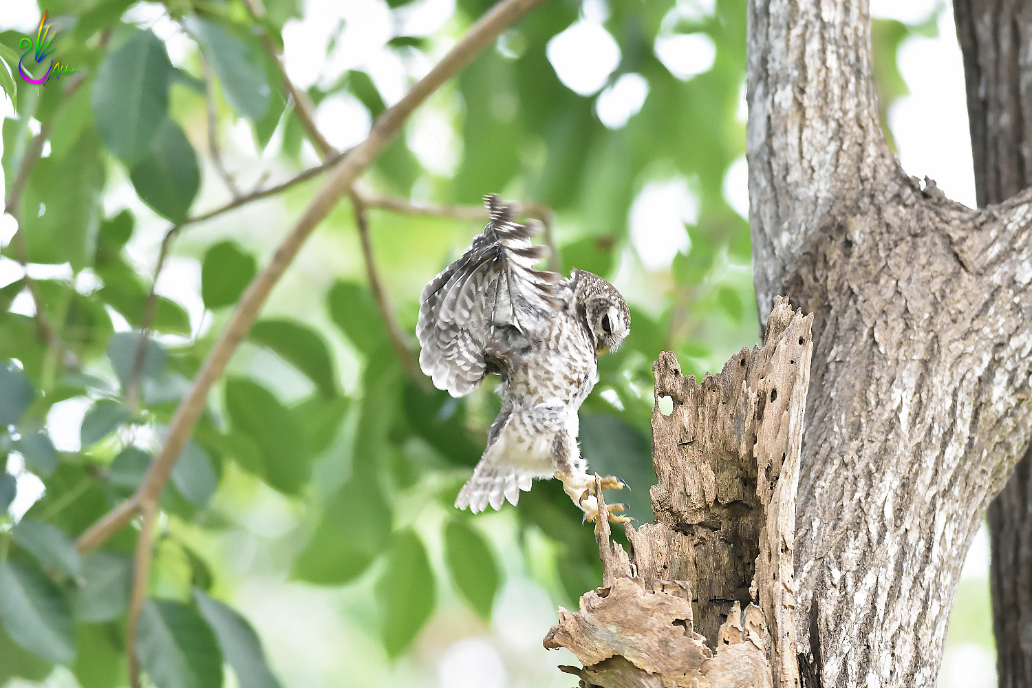 Spotted_Owlet_6862