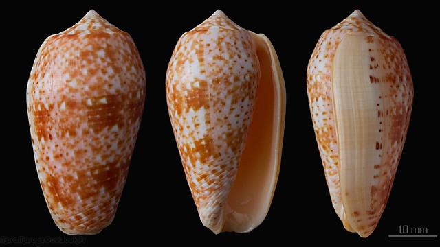 Conus (Textilia) bullatus   Linnaeus, 1758 - Page 3 32405158585_bdefb99a3b_z