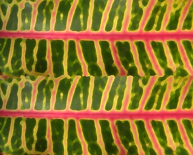 Multi-coloured spotted Croton leaf