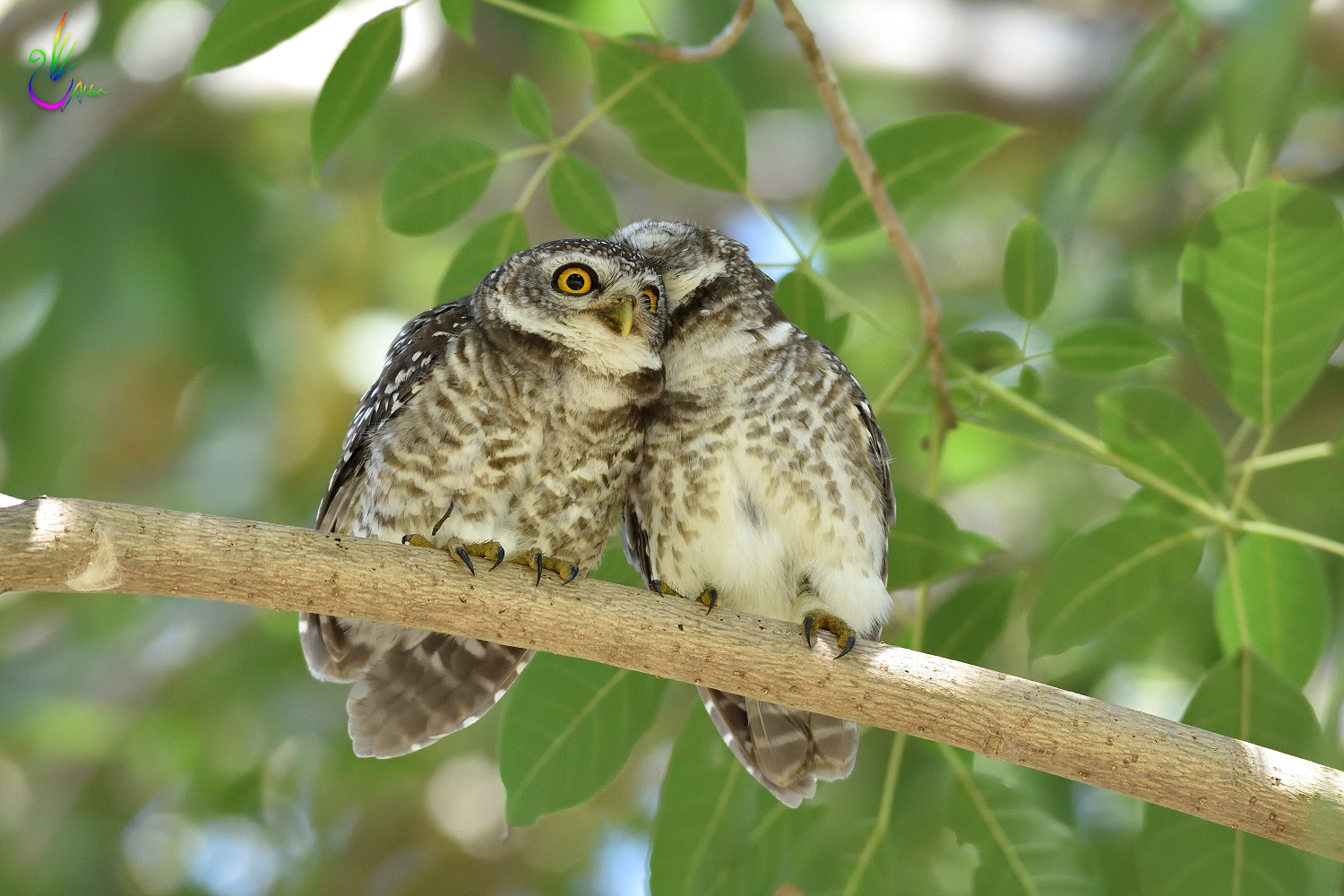 Spotted_Owlet_9368