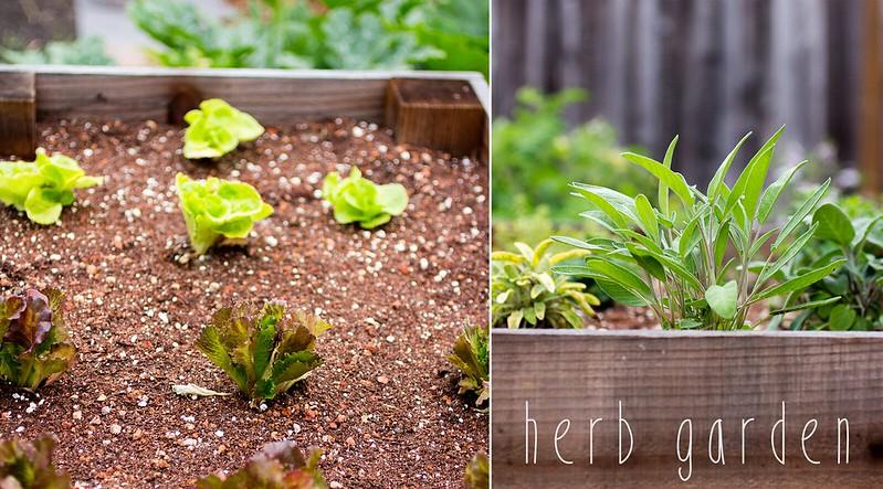 herb garden + lettuce