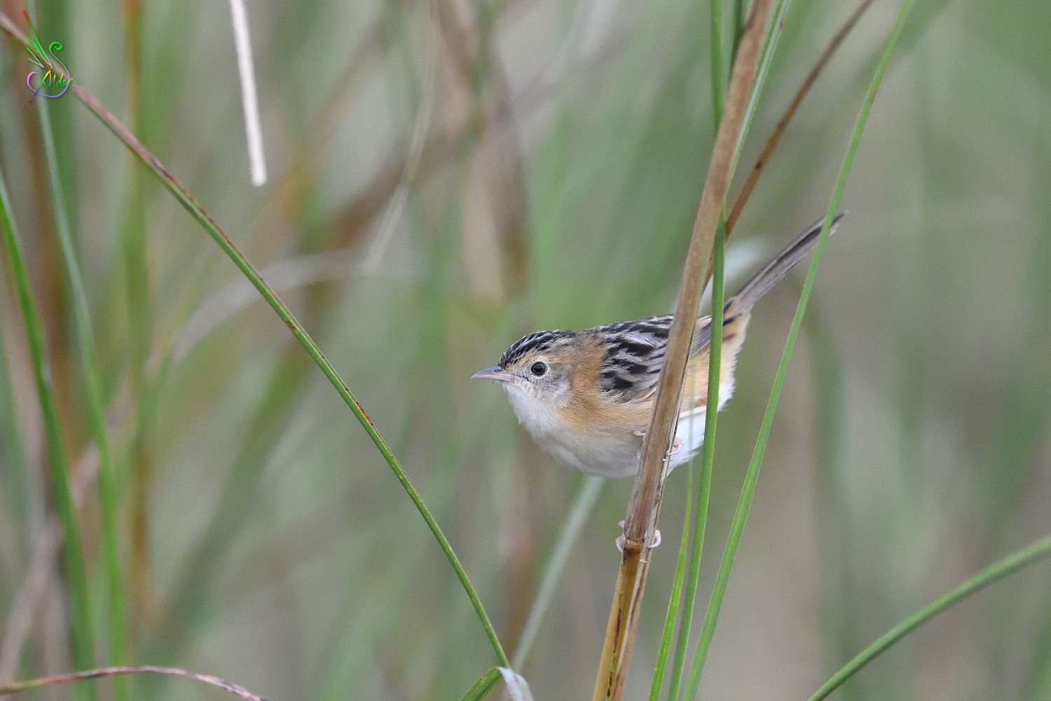 Golden-headed_Cisticola_7696