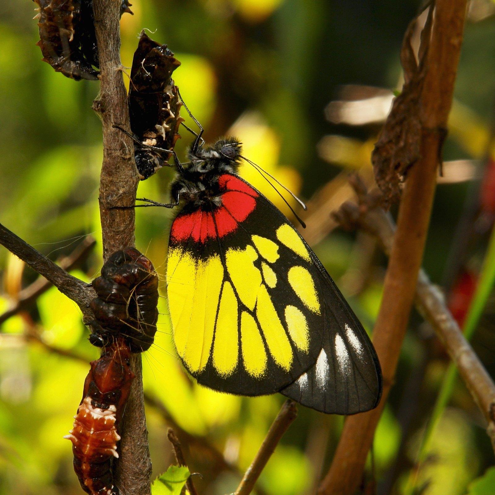 Freshly Eclosed Redbase Jezebel (Delias pasithoe, Pieridae)