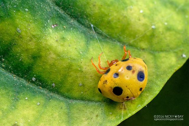 Ladybird spider (Paraplectana sp.) - DSC_7284