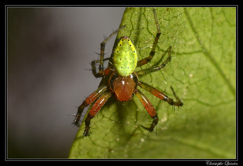 Araniella cucurbitina/opisthographa mâle