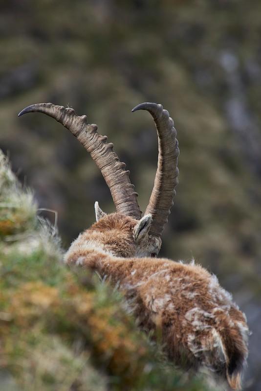 Alpha male alpine ibex - Niederhorn