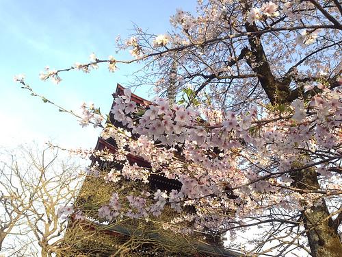 Cherry Blossom at Takayama (iPhone 5)