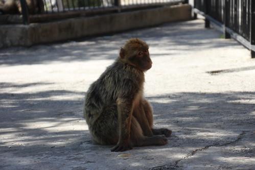 Les singes à Gibraltar