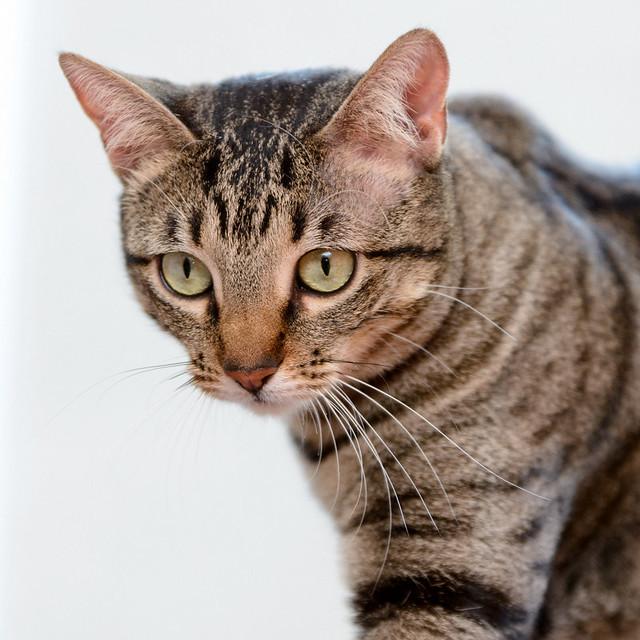Tigris, gatita atigrada parda de ojazos verdes y cara redondita, tímida y sumisa esterilizada, nacida en Septiembre´15, en adopción. Valencia. ADOPTADA. 32350565800_4723087bbd_z