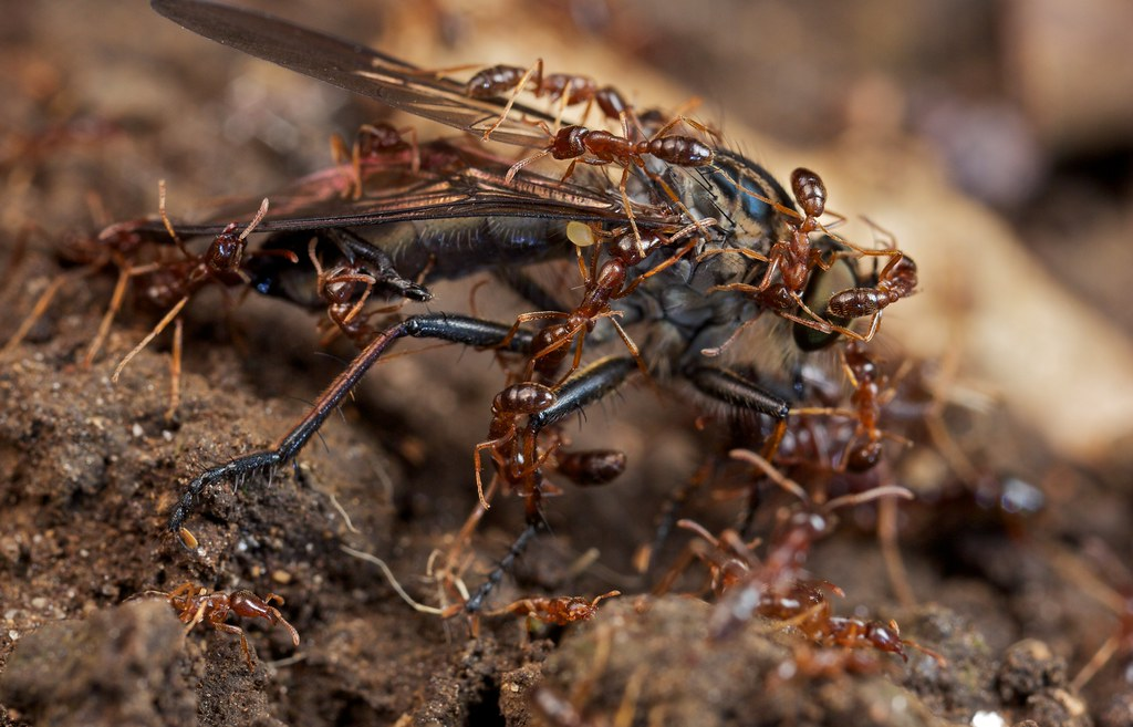 antbirds and army ants relationship with plants