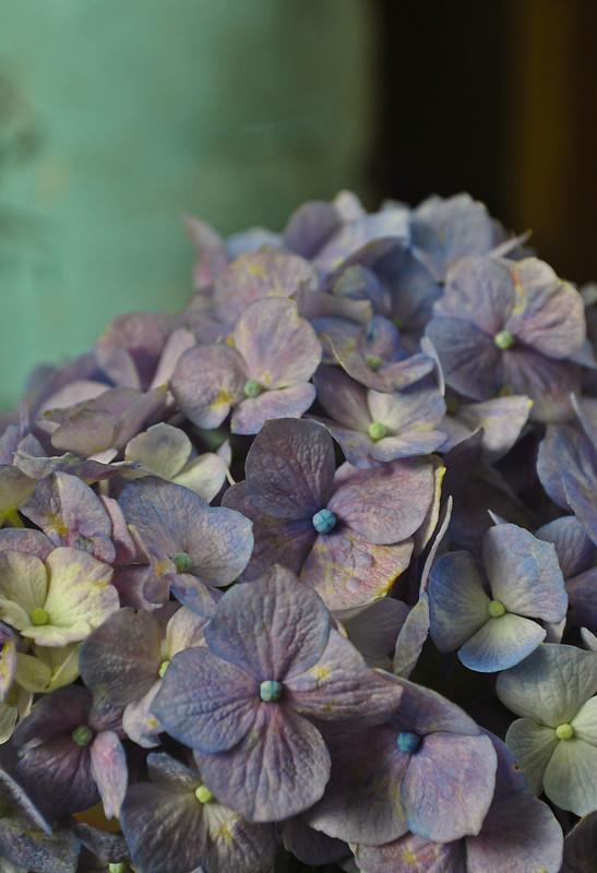 Hydrangea macrophylla 'Glory Blue'