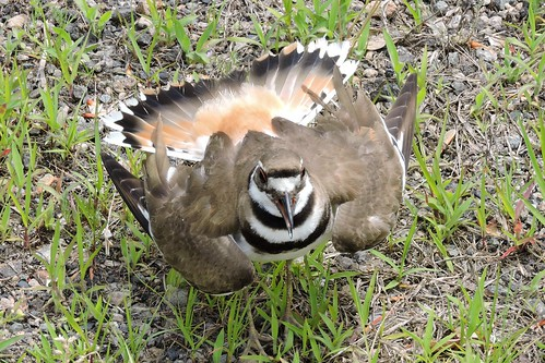 Killdeer #84 behavior