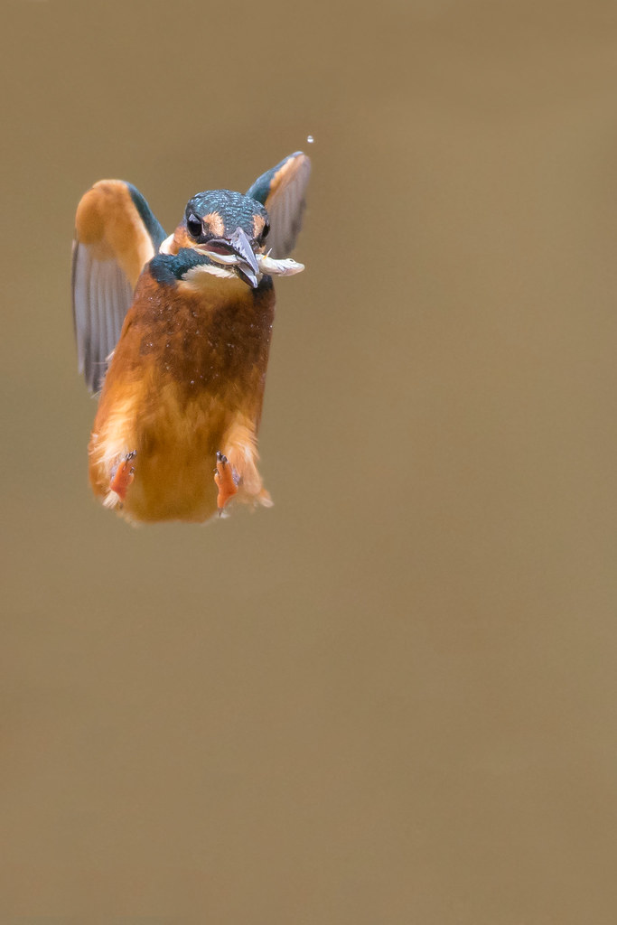 how kingfisher can come out of A kingfisher looks for prey from a perch that overhangs water, such as a bare branch, telephone wire, or pier piling when it spots a fish or crayfish near the surface, it takes flight, dives with closed eyes, and grabs the prey in its bill with a pincer motion.