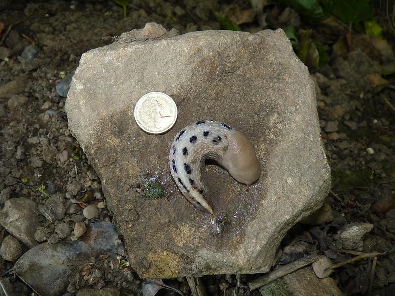 Fylingthorpe Slug