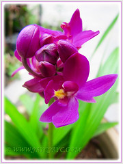 Buds and flowers of Spathoglottis piicata (Ground Orchid, Large Purple Orchid, Pleated Leaf Spathoglottis), June 20 2015